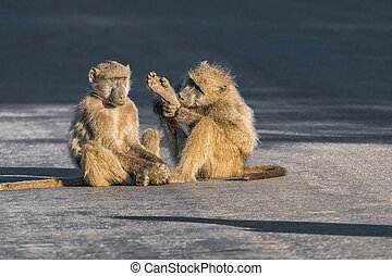 Young chacma baboon holding a foot in the air