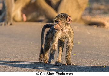 Young chacma baboon walking in a road