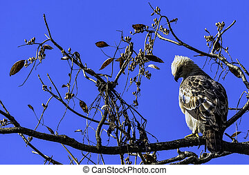 Young changeable hawk-eagle or crested hawk-eagle (Nisaetus ...
