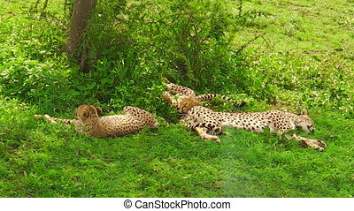 young cheetah cubs resting - Two young cheetah cubs with...