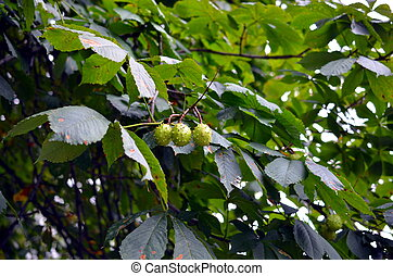 young chestnuts hanging on a tree