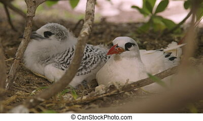 Young Chick And Its Mother, Lady Elliot Island