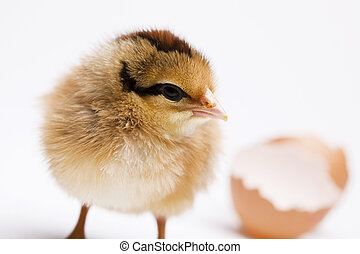 Young Chick Portrait - Easter young chick