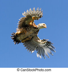 Young Chicken Flying in the Sky with Wings Spread - A young ...
