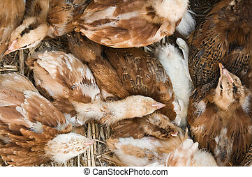 Young chicken group resting