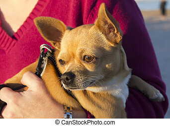 young chihuahua in the arms of a woman
