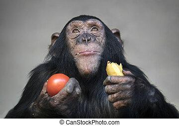 Young chimpanzee eating banana and tomato