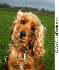 cocker spaniel - young cocker spaniel