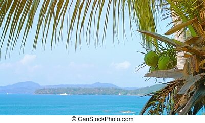Young Coconuts on a Palmtree, Overlooking a Tropical Beach in Thailand