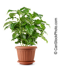 Young coffee plant in pot isolated on white