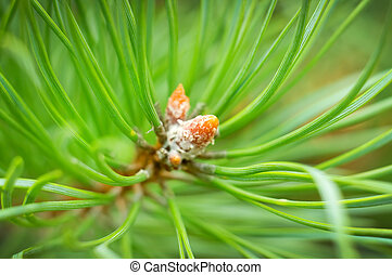 Young cones of spruce. Nature composition