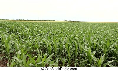 corn field - young corn field