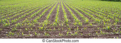 Young corn growing in rows - agriculture and farming.