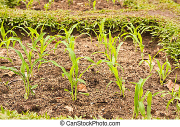 Young corn in a small plant