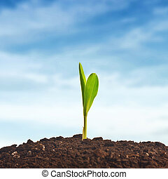 Young corn plant sprout growing from the ground....