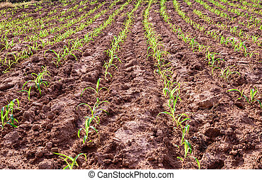 Young corn plants at cornfield in early spring