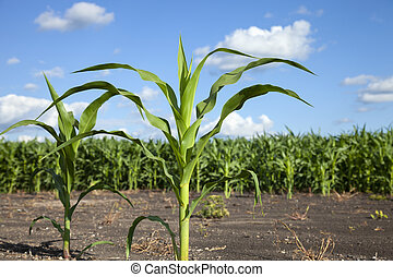 Young corn plants isolated against a corn field and blue sky in rural Minnesota