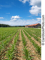 Young corn plants on a stony field