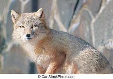 Young corsac fox looks into the camera.
