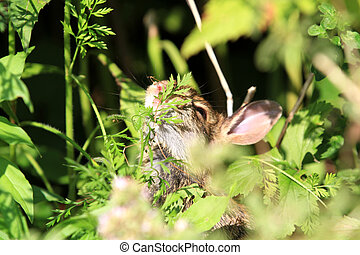Young cotton tail rabbit having morning snack in sun
