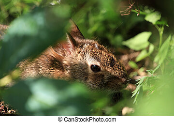 Young Cotton-tail Rabbit warming in morning sun