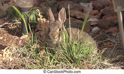 a cute young cottontail rabbit eating grass