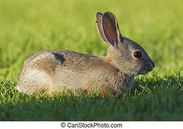 a young cottontail rabbit sitting in green grass