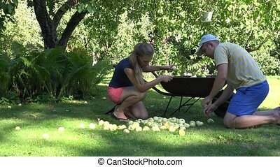 young couple gather rotten apple in wheelabrrow at summer. 4K
