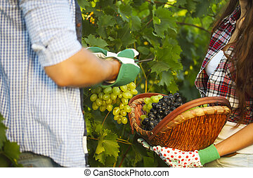 Young couple on picking grapes in the vineyard