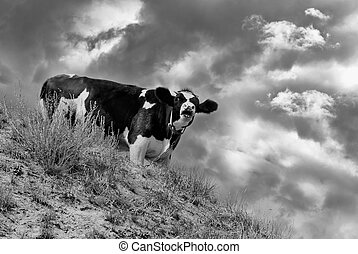 Young cow as a look-out standing on a hill and screaming