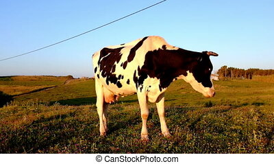 Young cow grazing in Porrtugal - Young cow grazing on a...