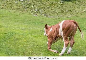 Young cow on a pasture, Austria