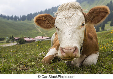 Young cow on an alpine meadow in Bavaria, Germany