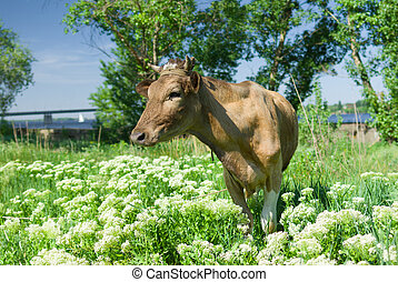 Young cow waiting for the milkmaid on a spring pasture