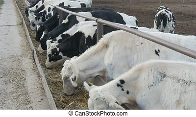 Young cows and bulls eating straw and hay quickly in outdoor...