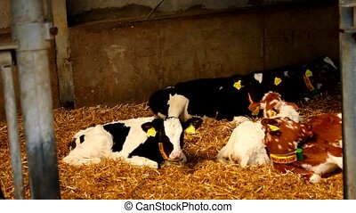 Young cows in a stable - stall - Many young cows in a stable...