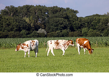 Young cows