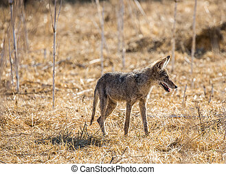 Young Coyote (Canis latrans) hunting in the grass. Santa ...