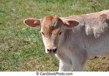 Young cream colored calf newly born in Kyrgyzstan