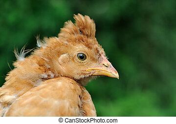 Young Crested Chicken Close-Up