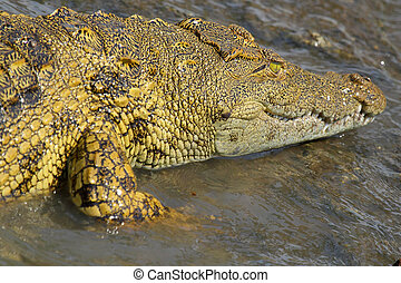 Young crocodile in water - A young Nile Crocodile,...