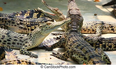 young crocodiles in farm