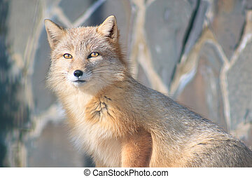 Young curious corsac fox looks into the camera.
