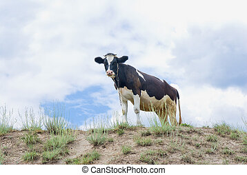 Young curious cow standing on a hill