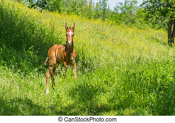 Young curious foal playing on a summer pasture