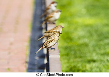 Young curious group of sparrows