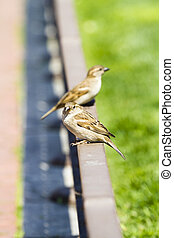Young curious sparrows