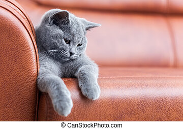 Young cute cat resting on leather sofa. The British ...