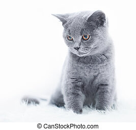 Young cute cat resting on white fur. The British Shorthair...