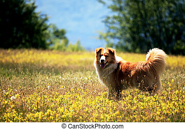 cute dog - young cute dog in summer yellow field